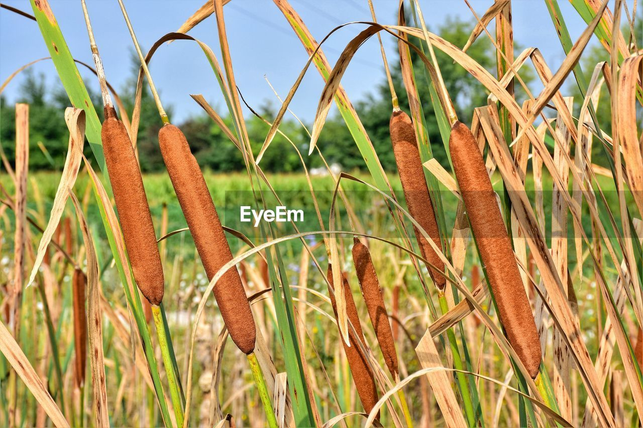 plant, growth, nature, beauty in nature, close-up, tranquility, land, day, field, no people, brown, focus on foreground, sky, grass, agriculture, green color, outdoors, cattail, sunlight, crop, blade of grass