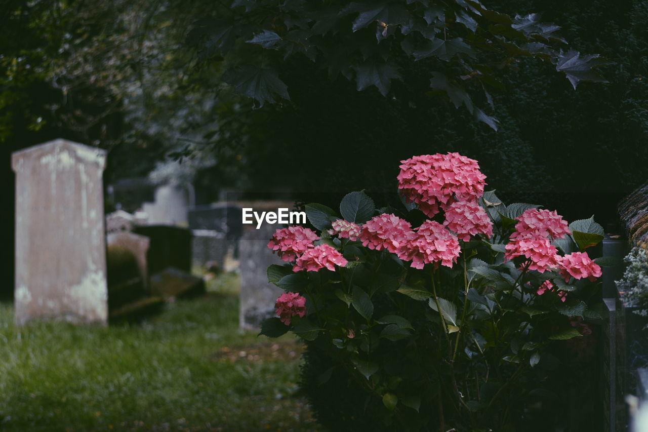 Pink Hydrangeas Growing In Cemetery