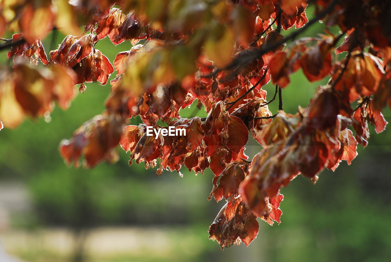 nature, growth, beauty in nature, no people, tree, change, outdoors, plant, tranquility, red, day, autumn, focus on foreground, fragility, leaf, close-up, flower, branch, freshness