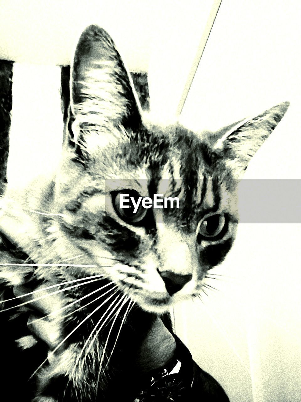 one animal, animal themes, feline, mammal, domestic cat, portrait, close-up, looking at camera, indoors, no people, pets, domestic animals, day