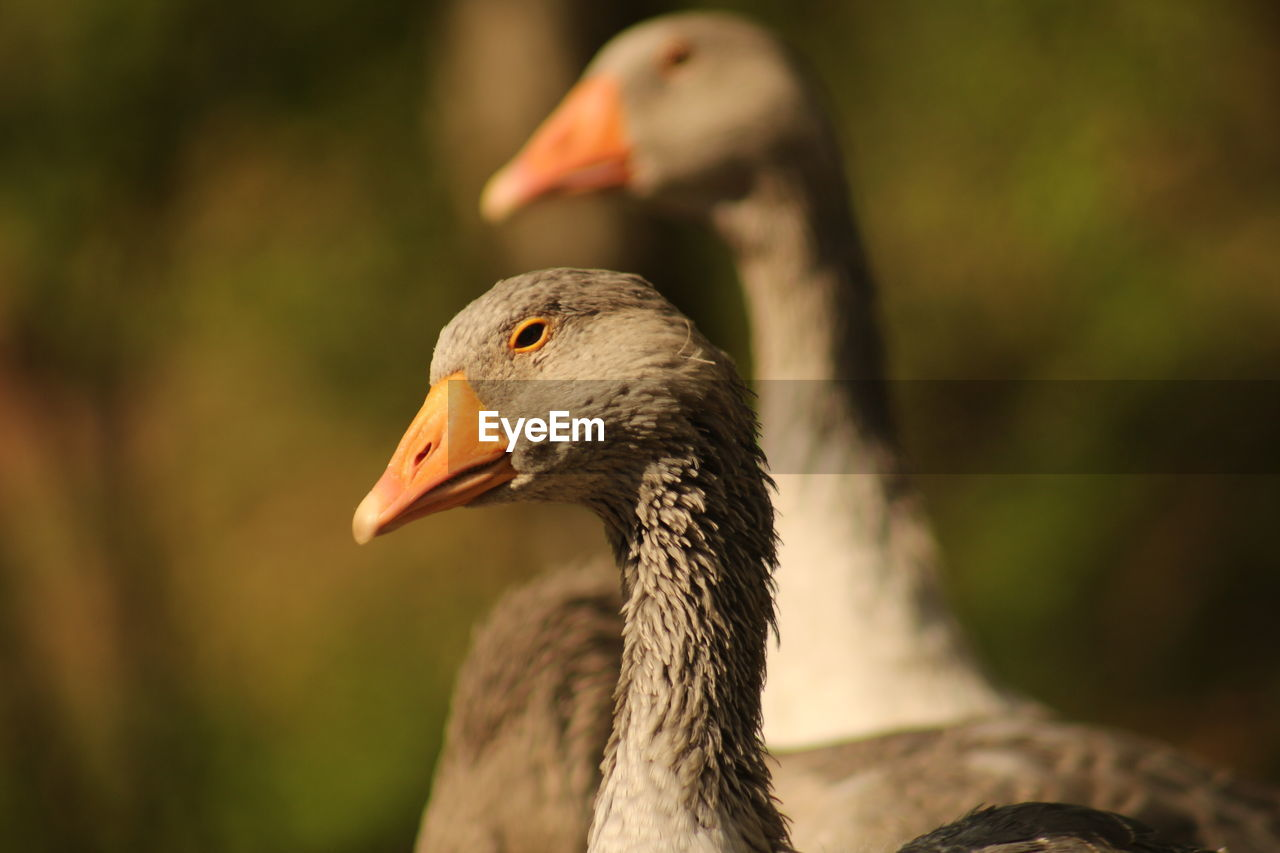 bird, animals in the wild, animal themes, animal wildlife, focus on foreground, one animal, day, nature, beak, no people, close-up, outdoors, goose, greylag goose