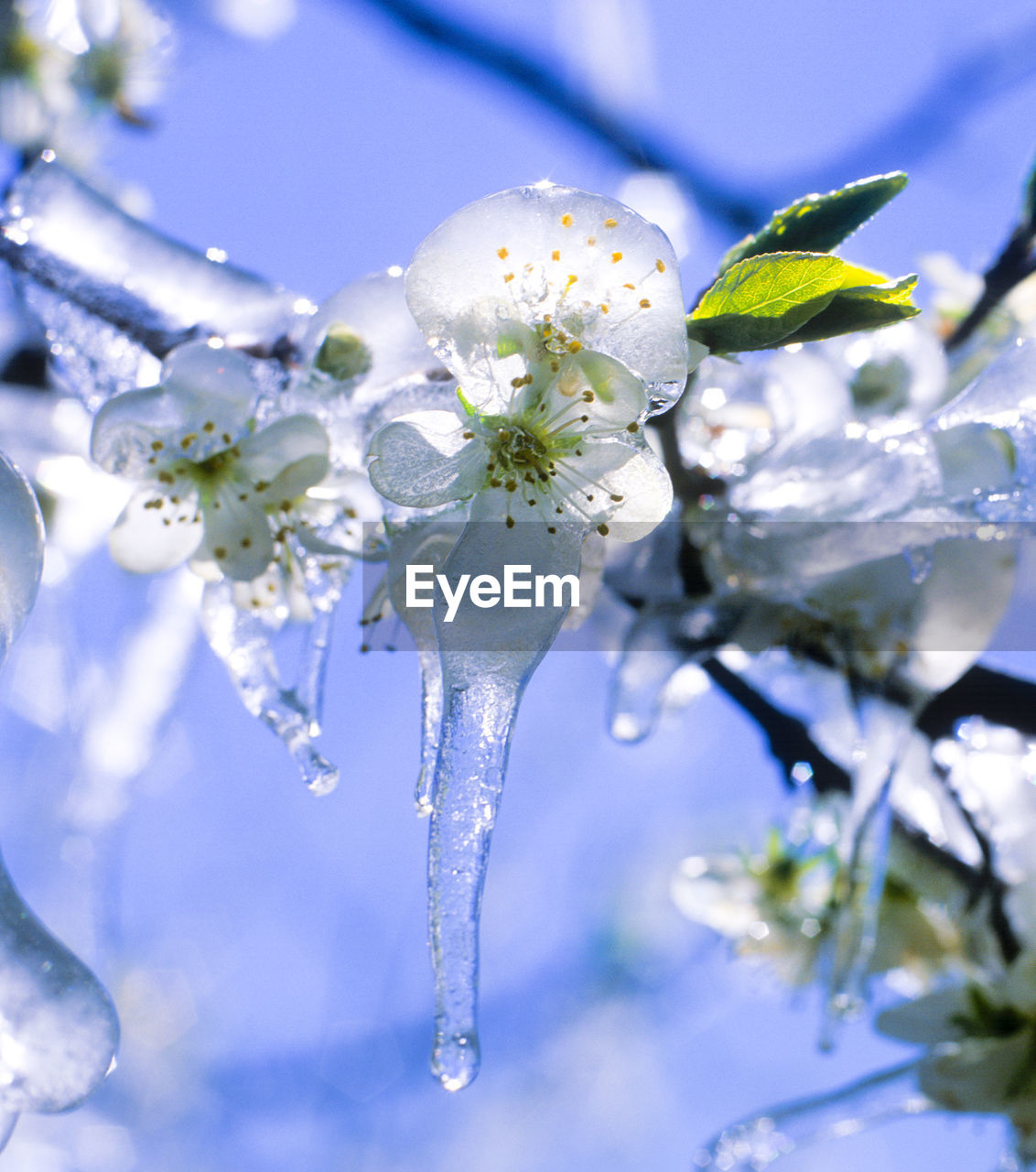 flower, fragility, beauty in nature, nature, white color, growth, tree, freshness, no people, blossom, close-up, day, branch, springtime, petal, twig, blue, outdoors, flower head, plant, cold temperature, low angle view, blooming, sky