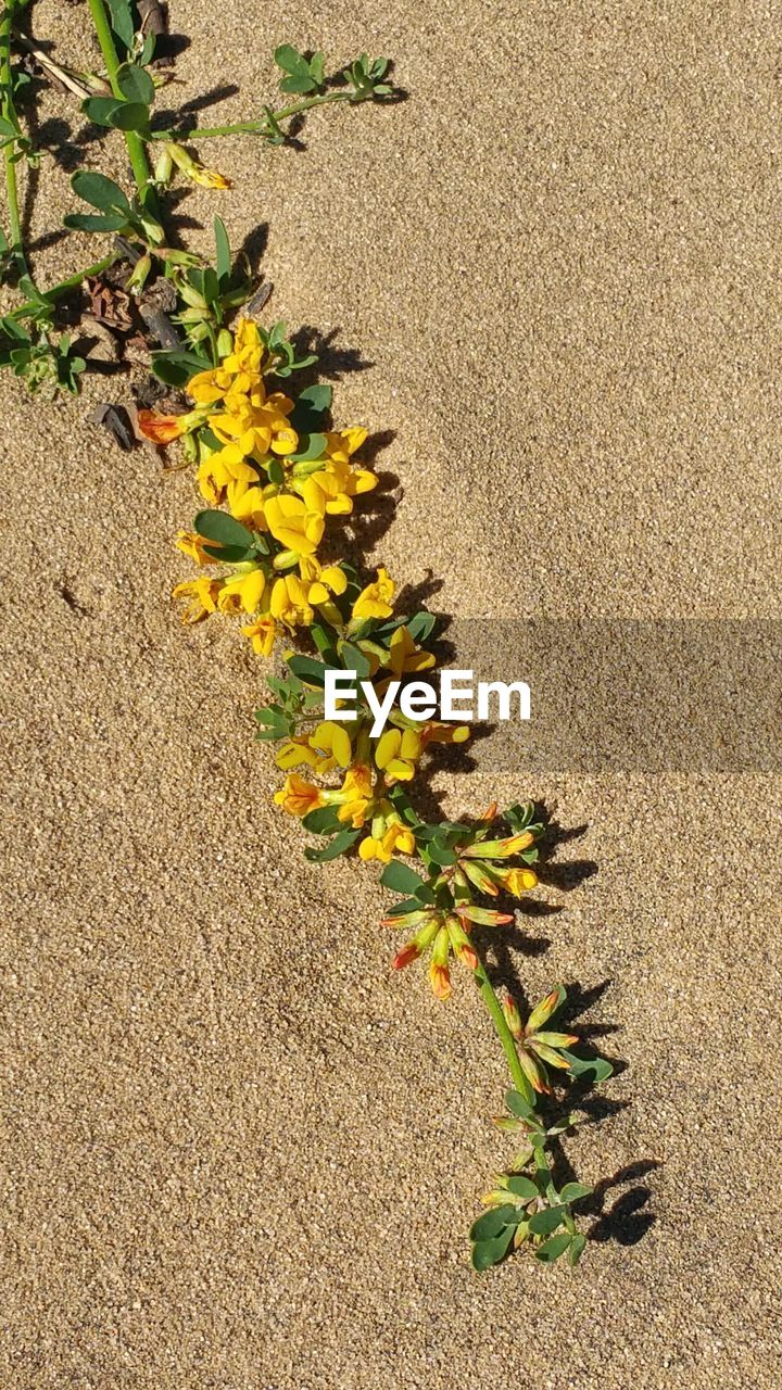 growth, plant, flower, nature, yellow, sand, outdoors, day, no people, leaf, fragility, close-up, beauty in nature, freshness, flower head