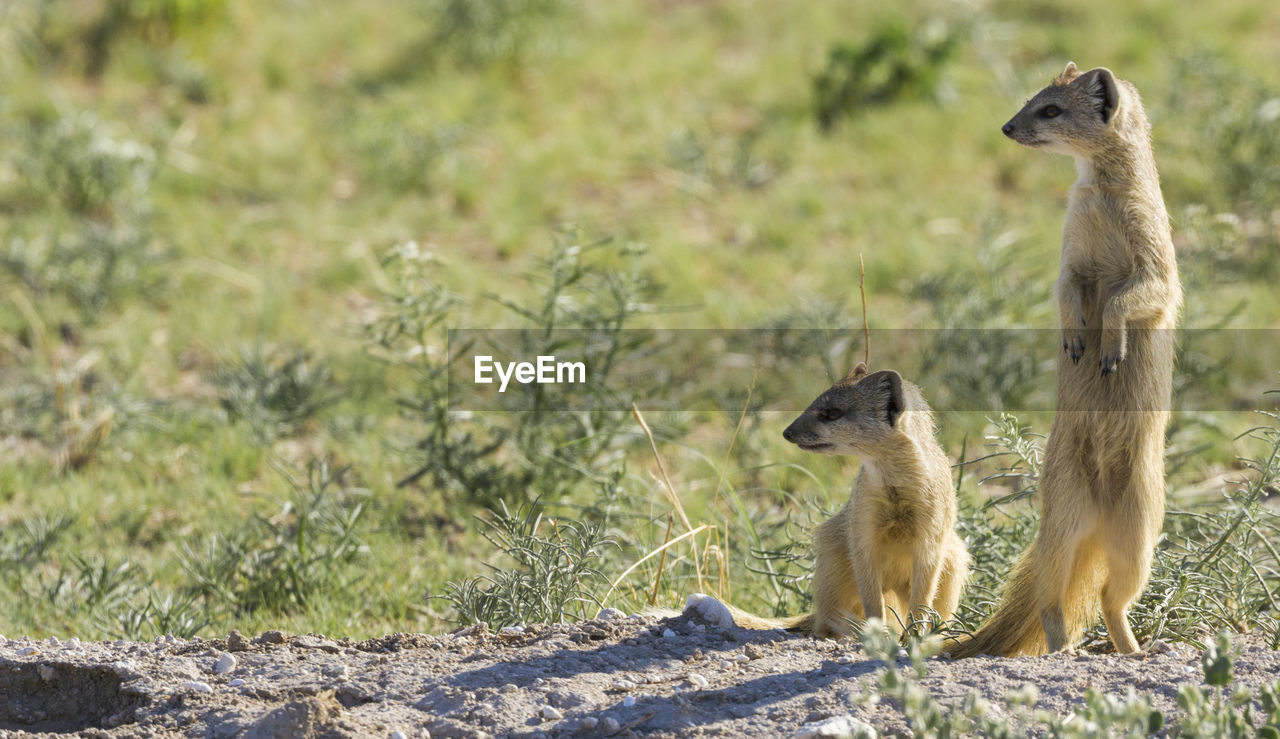 animal wildlife, animal, animal themes, animals in the wild, vertebrate, group of animals, mammal, nature, land, field, day, no people, two animals, meerkat, plant, focus on foreground, looking, looking away, standing, rodent, animal family