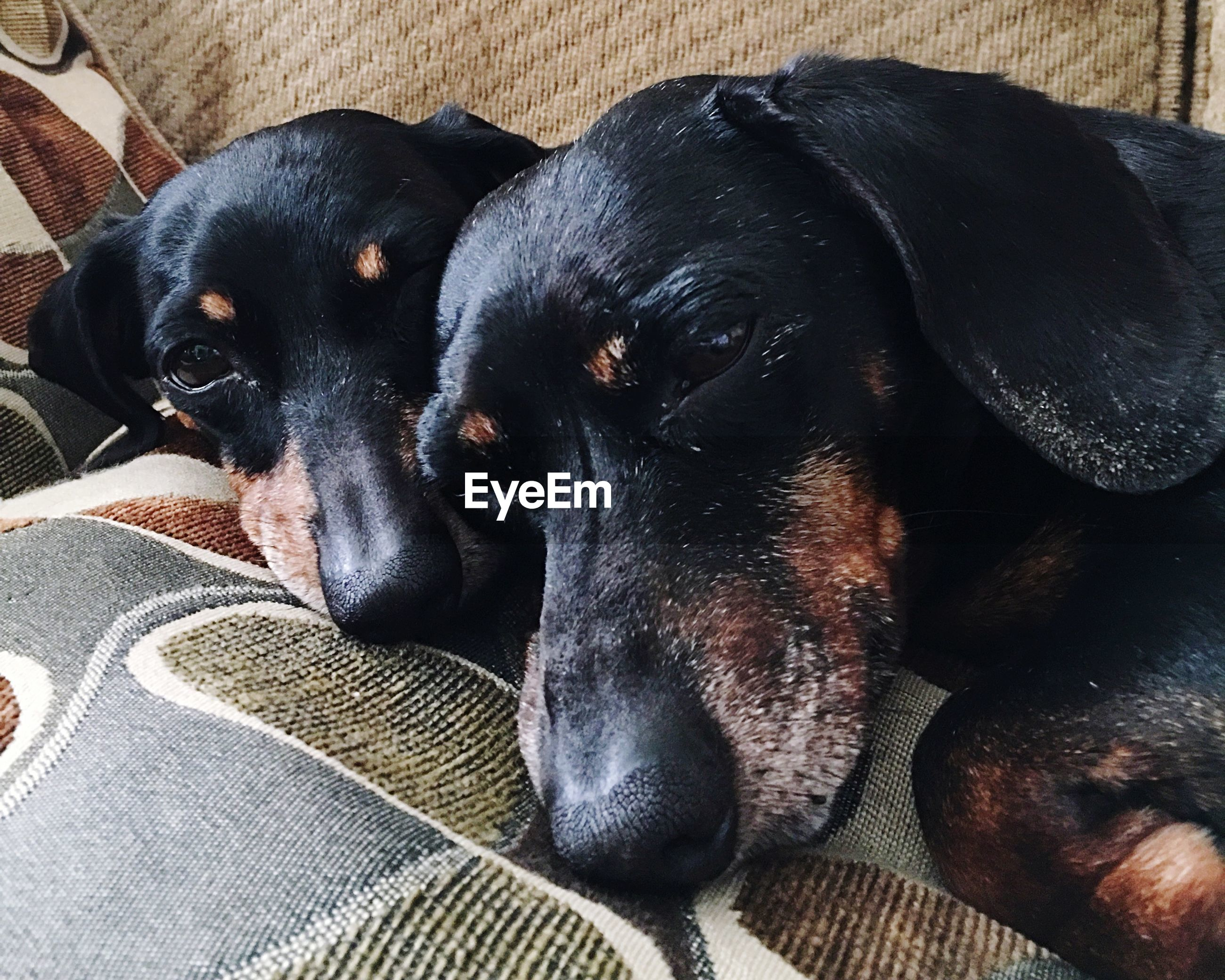 High angle view of black dogs relaxing at home