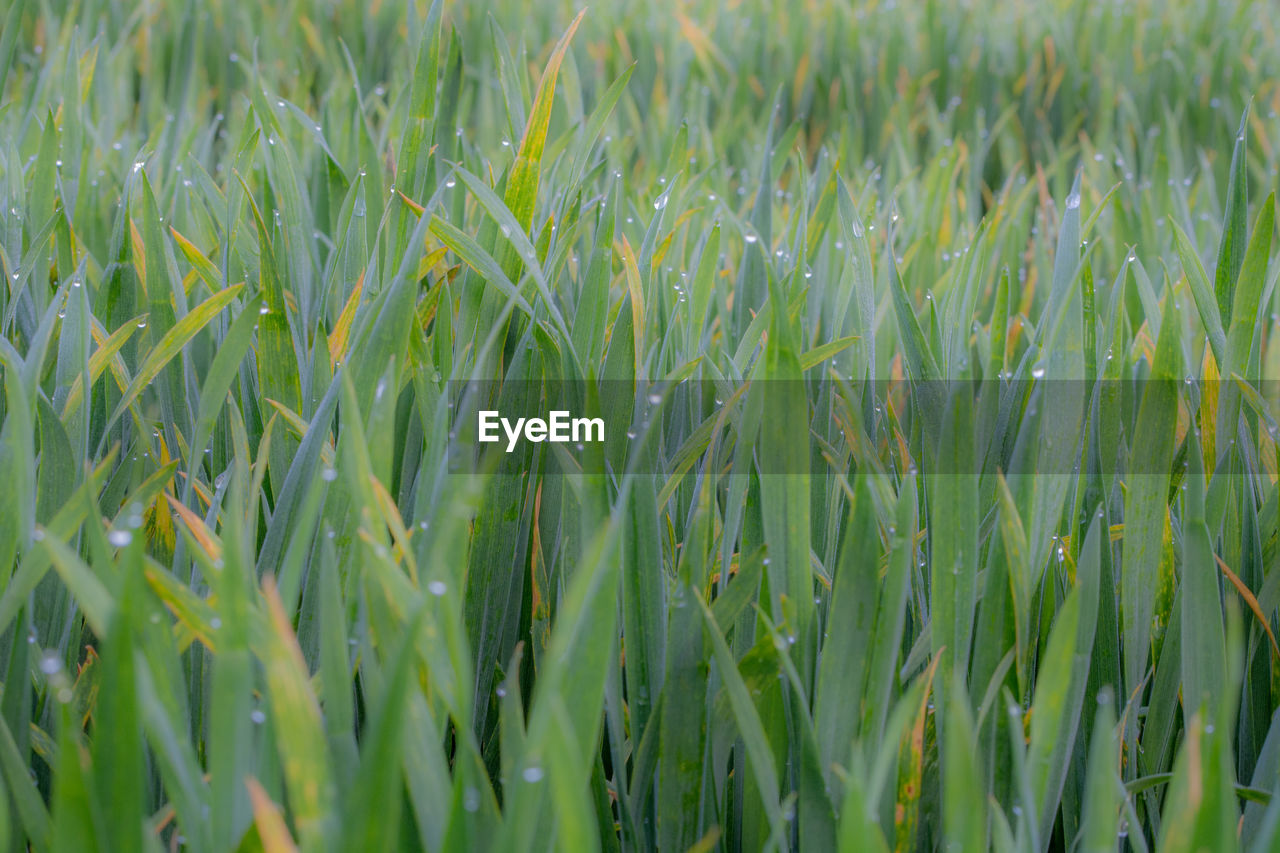 growth, plant, green color, field, full frame, land, beauty in nature, agriculture, no people, cereal plant, farm, nature, crop, backgrounds, rural scene, day, close-up, landscape, freshness, tranquility, outdoors, blade of grass