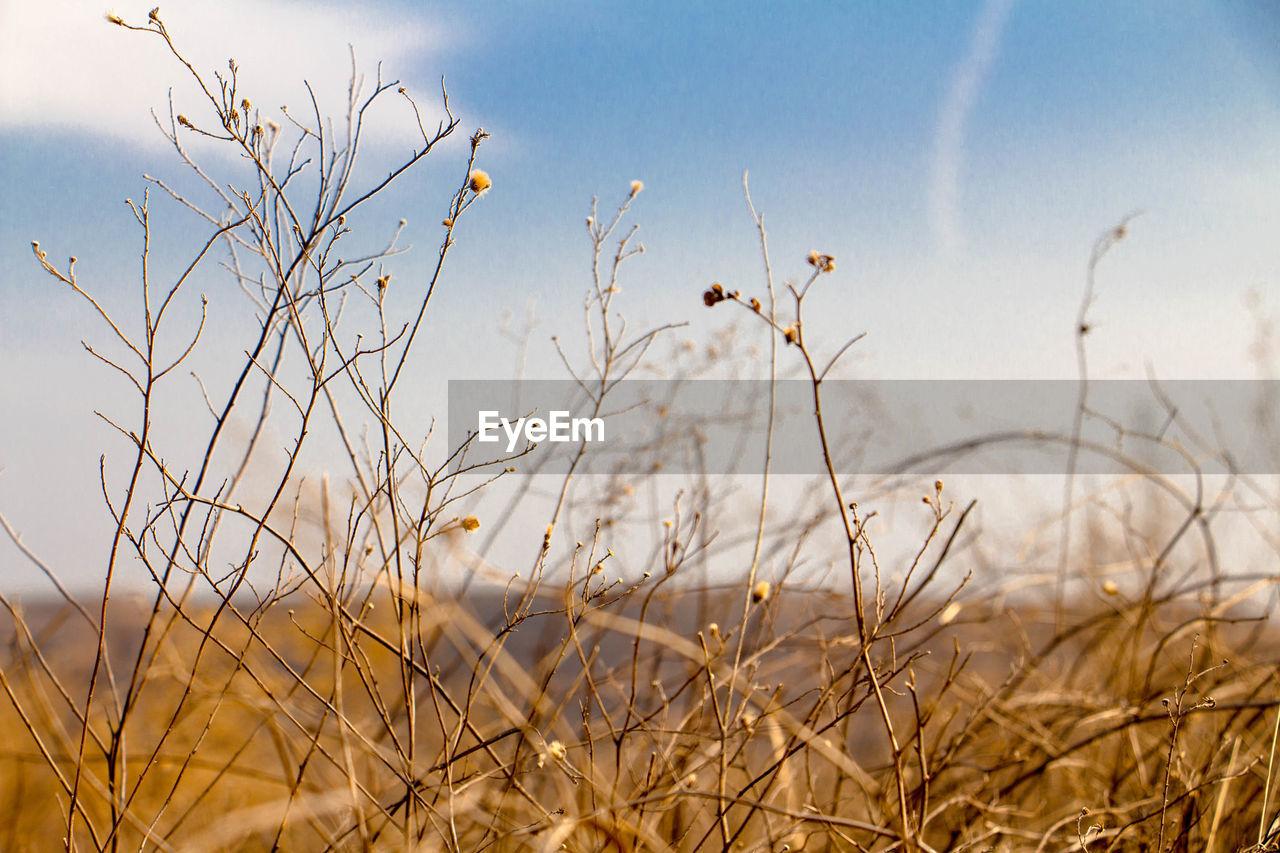 Dry plants against sky