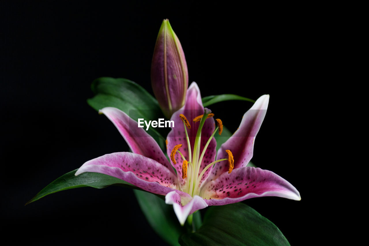 flower, flowering plant, petal, fragility, vulnerability, freshness, plant, inflorescence, beauty in nature, flower head, close-up, studio shot, growth, pink color, black background, no people, pollen, nature, indoors, purple