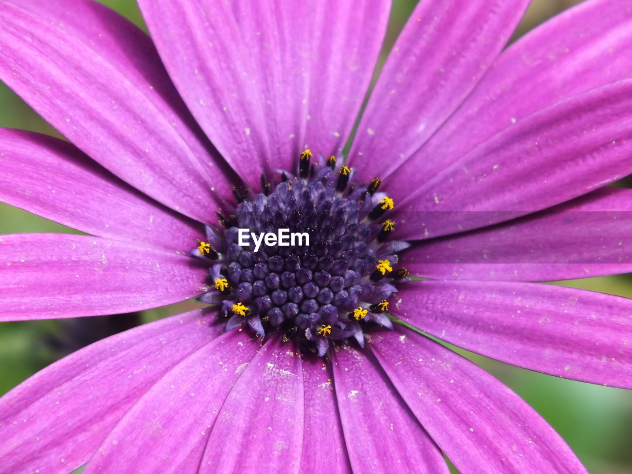 flower, petal, fragility, beauty in nature, flower head, pollen, nature, freshness, growth, close-up, day, blooming, outdoors, pink color, no people, full frame, backgrounds, plant, osteospermum