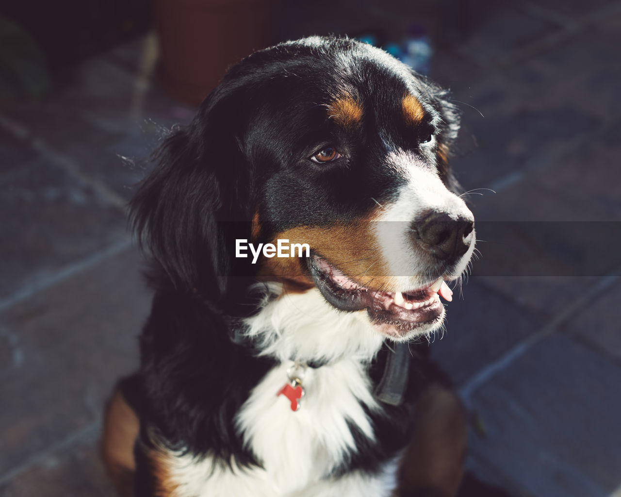 Close-up portrait of bernese mountain dog looking away smiling
