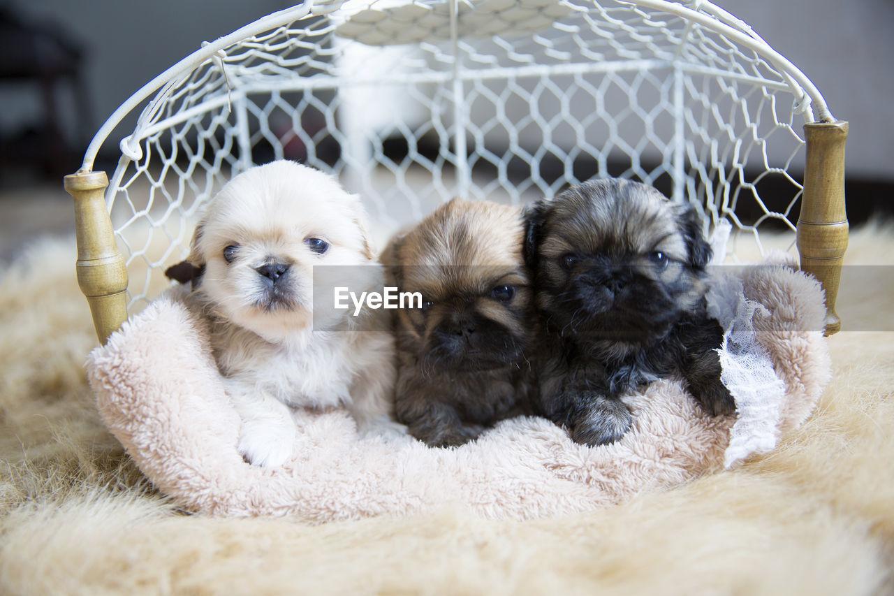 Three puppies in basket