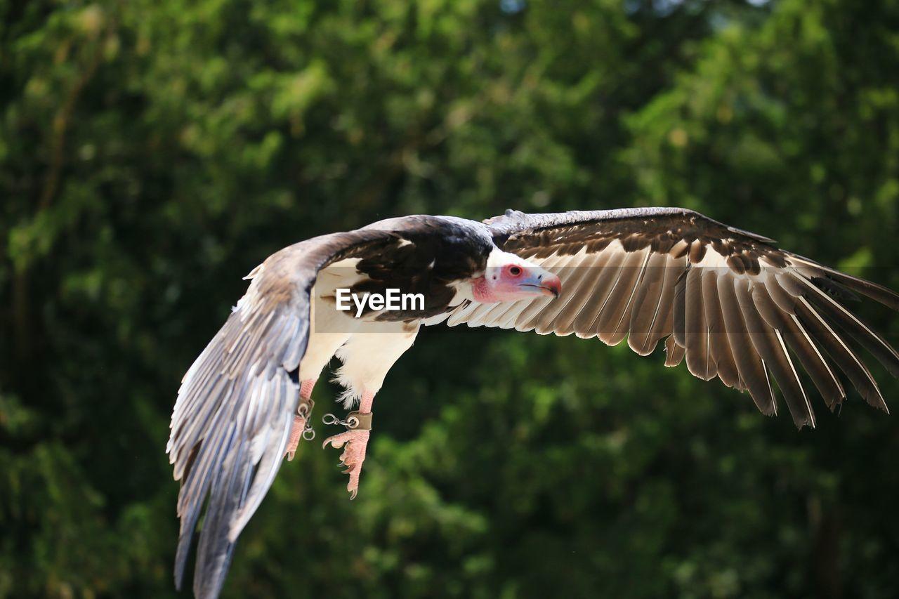 Vulture Flying Against Trees