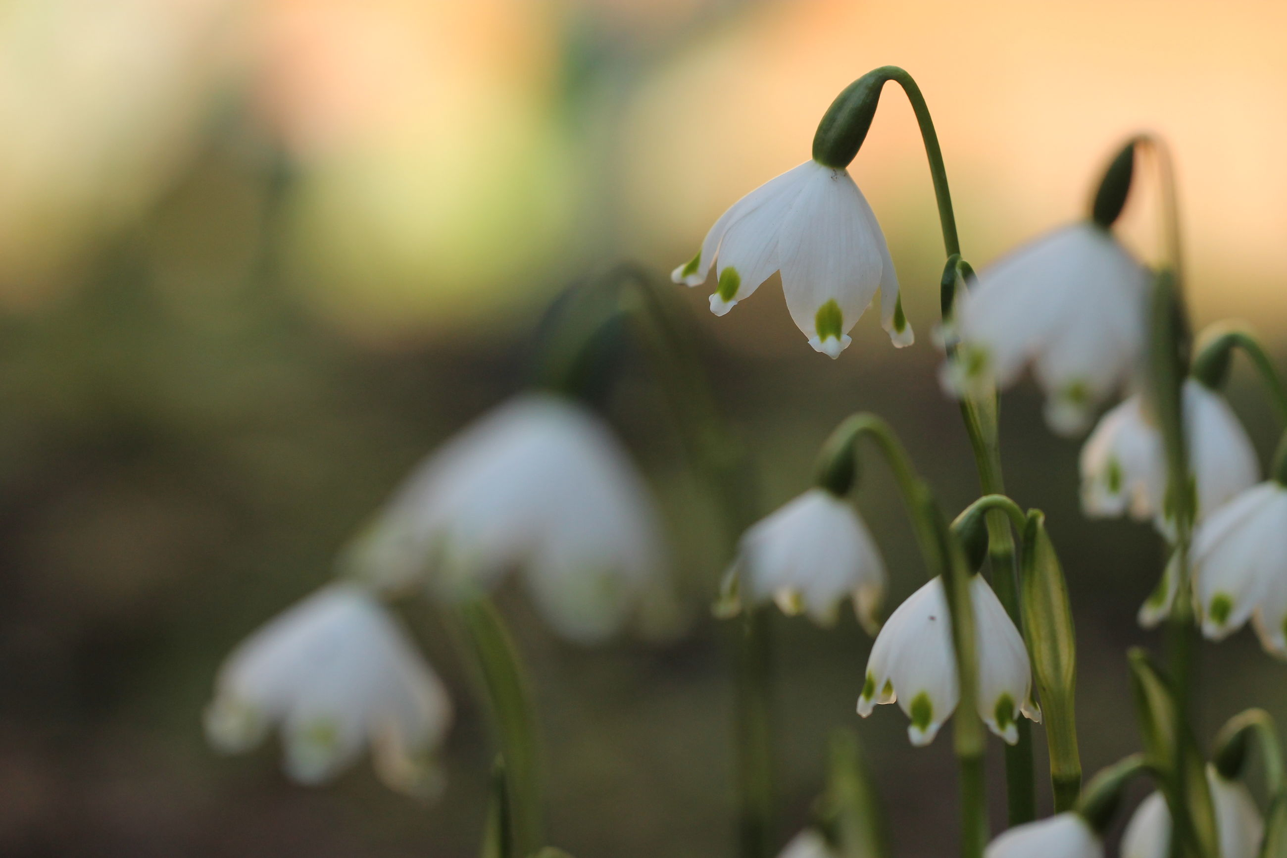 CLOSE-UP OF WHITE FLOWERING PLANTS OUTDOORS