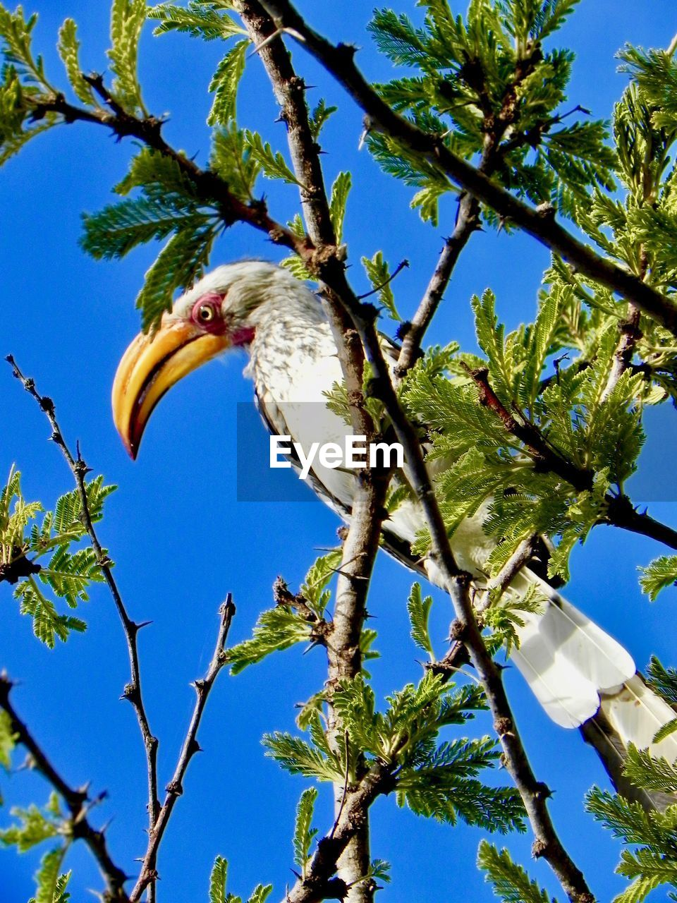 tree, bird, animal, animal wildlife, plant, animal themes, animals in the wild, vertebrate, low angle view, branch, one animal, sky, no people, day, nature, perching, sunlight, clear sky, blue, outdoors, eagle