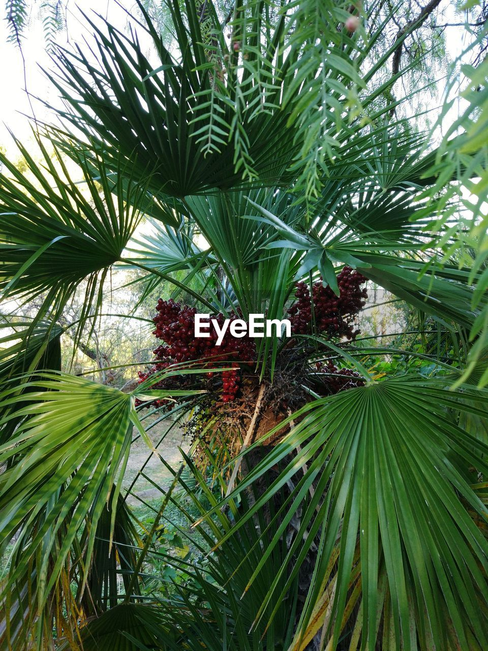 plant, growth, green color, tree, leaf, nature, plant part, day, beauty in nature, no people, tropical climate, palm tree, outdoors, freshness, fruit, tranquility, close-up, branch, palm leaf, healthy eating