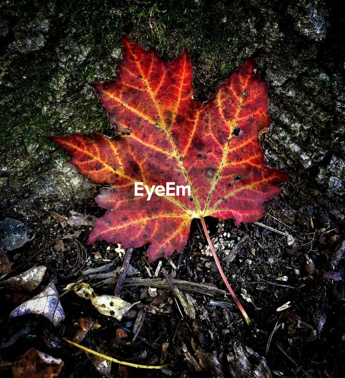 autumn, leaf, change, maple leaf, maple, nature, leaves, dry, beauty in nature, outdoors, high angle view, fallen, day, no people, close-up, red, fragility