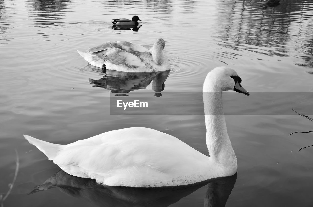 water, animals in the wild, animal wildlife, bird, lake, animal, animal themes, vertebrate, swimming, group of animals, swan, no people, nature, waterfront, day, water bird, reflection, beauty in nature, outdoors, cygnet