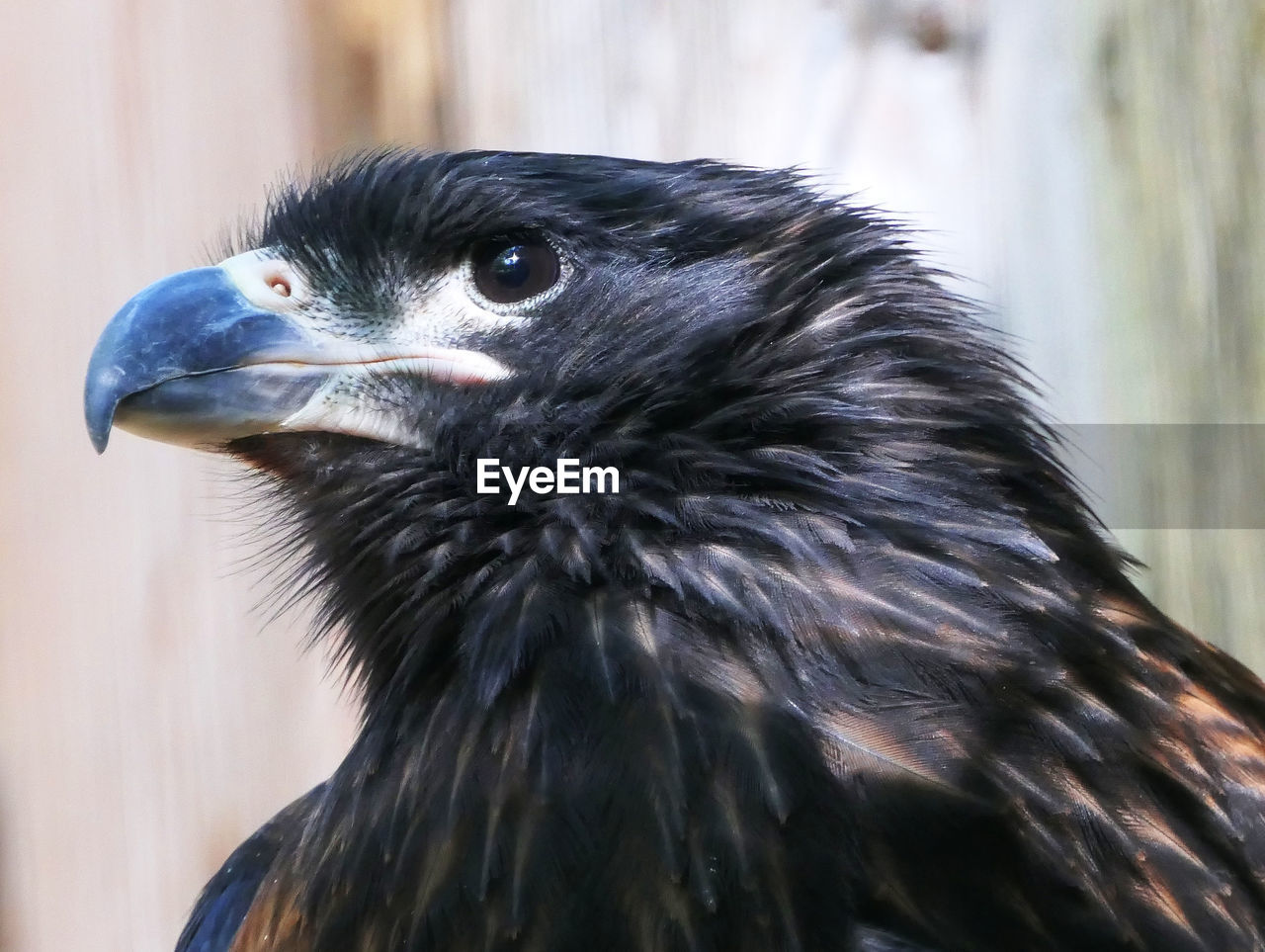 animal, animal themes, one animal, vertebrate, bird, close-up, animal wildlife, focus on foreground, animals in the wild, beak, no people, animal body part, day, looking away, animal head, looking, bird of prey, nature, outdoors, black color, animal eye, eagle
