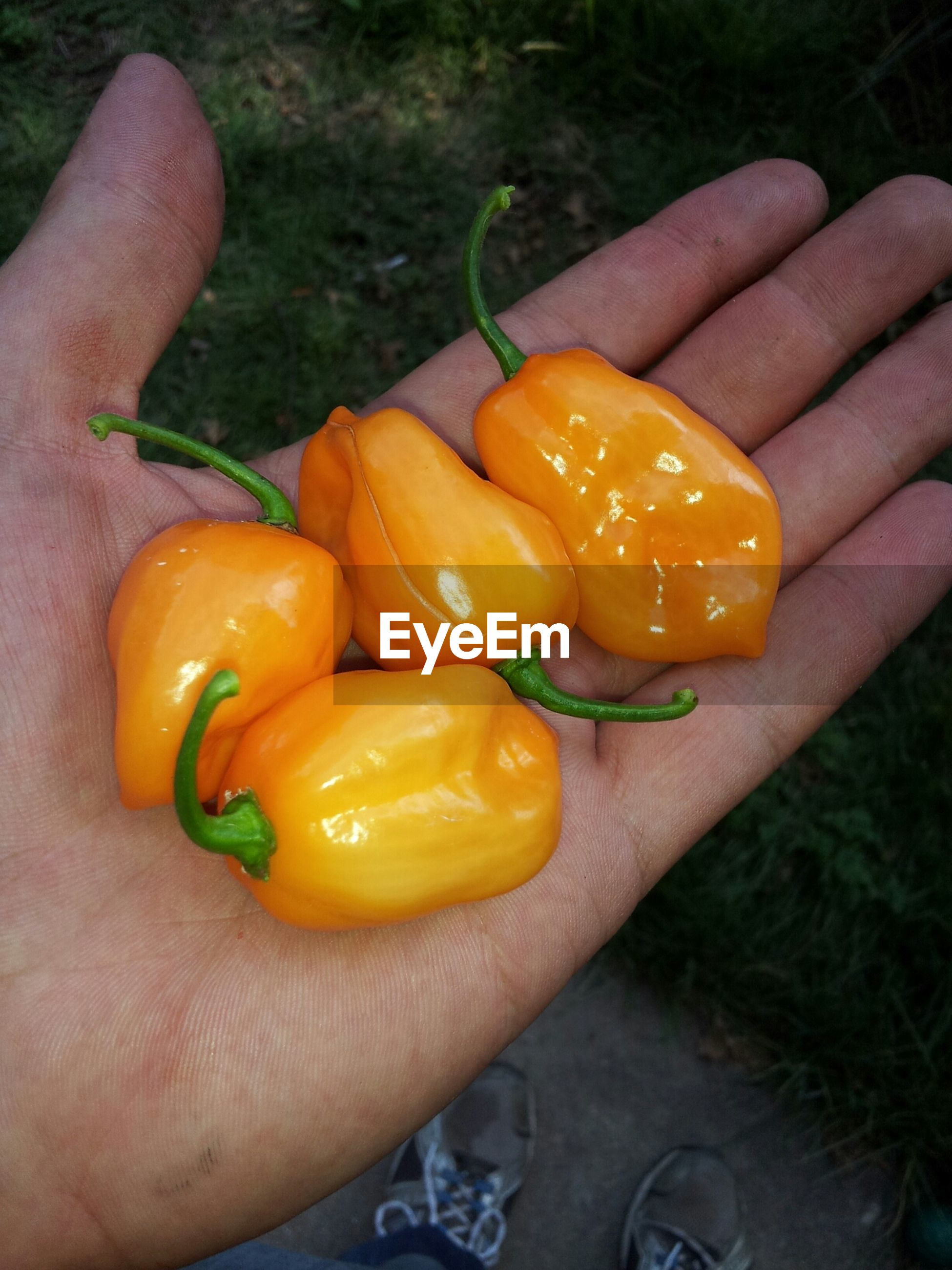 Close-up of hand holding yellow chili peppers