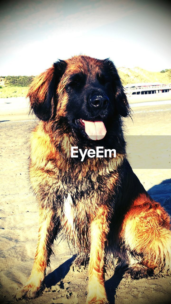 Leonberger Sitting On Sand At Beach Against Sky