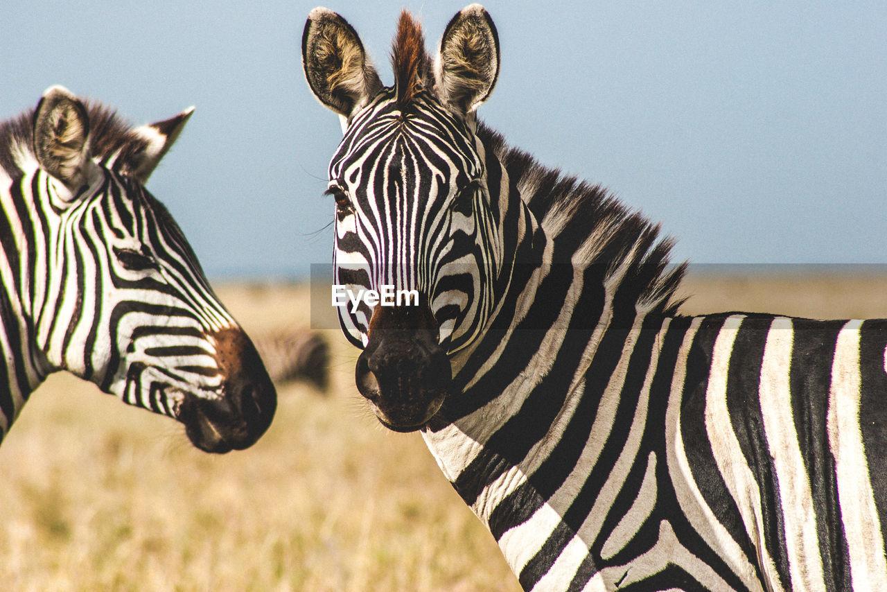 Close-up of zebra looking at camera