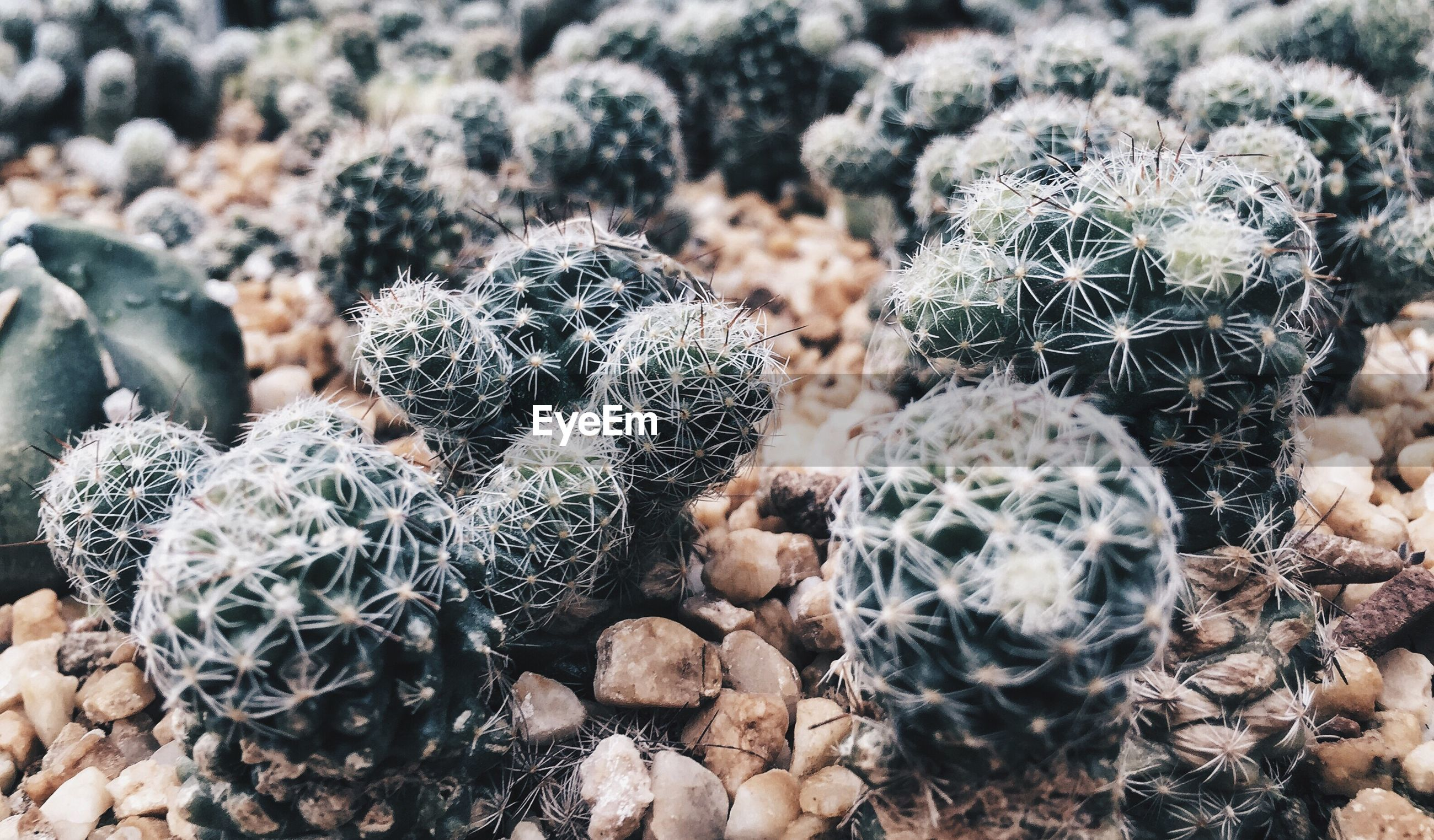 High angle view of cactus plants on gravel