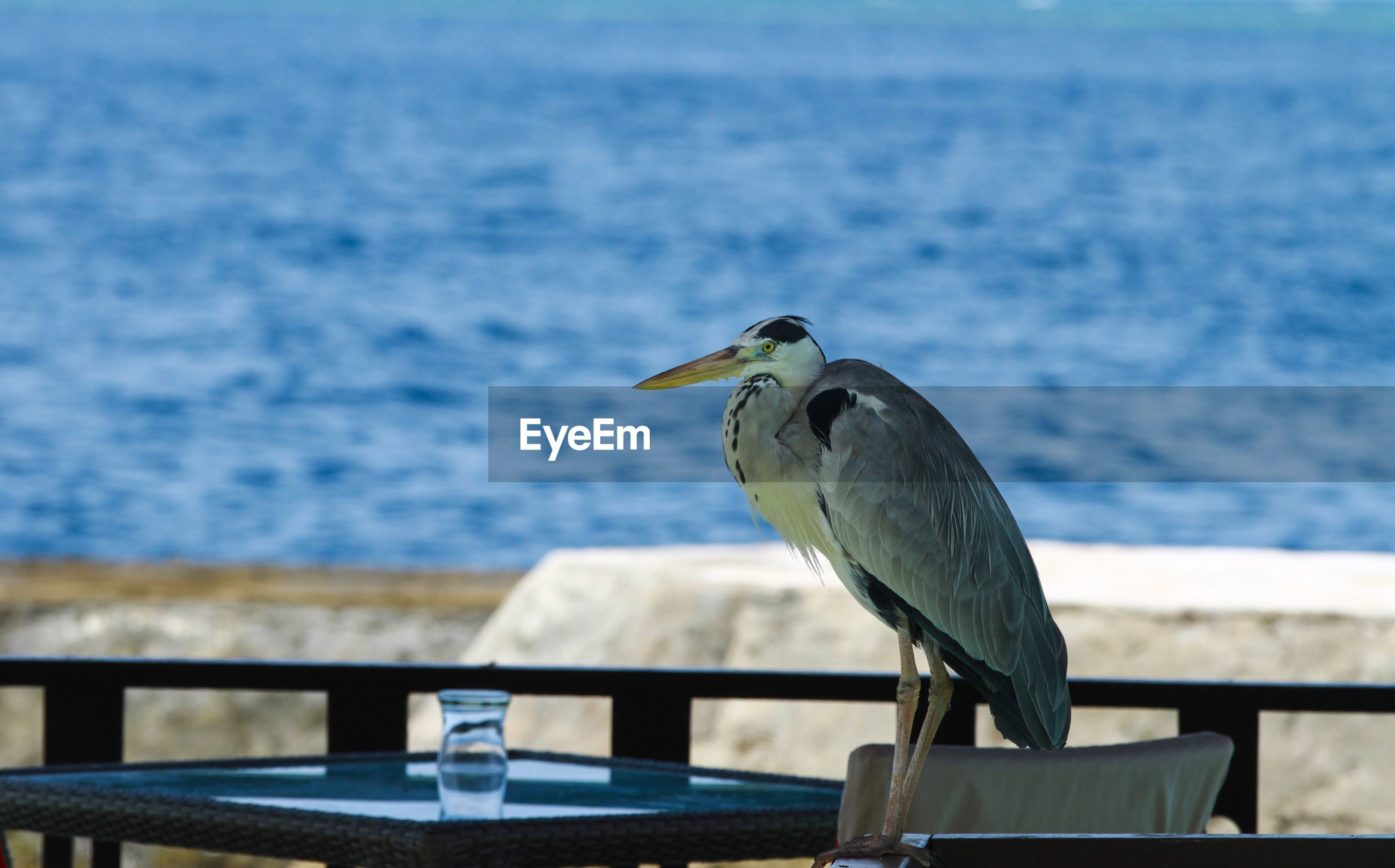 wildlife, animals in the wild, one animal, animal themes, bird, water, sea, focus on foreground, railing, perching, full length, rear view, vertebrate, zoology, selective focus, seagull, nature, tranquility, day, blue, beak, tourism