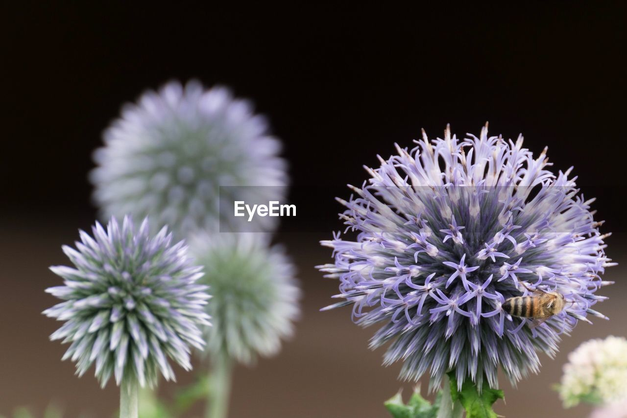 flower, flowering plant, vulnerability, plant, fragility, freshness, beauty in nature, flower head, close-up, inflorescence, growth, no people, petal, nature, focus on foreground, indoors, selective focus, studio shot, black background, purple, spiky