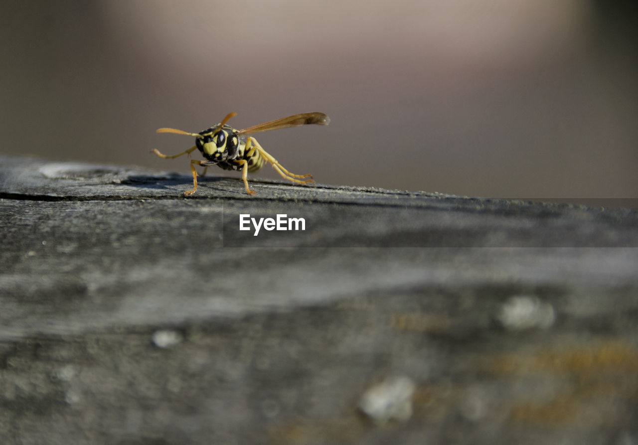 invertebrate, insect, animals in the wild, animal wildlife, animal, animal themes, one animal, selective focus, close-up, day, no people, outdoors, nature, animal body part, animal wing, wood - material, zoology, wasp, wall - building feature, arthropod, animal eye