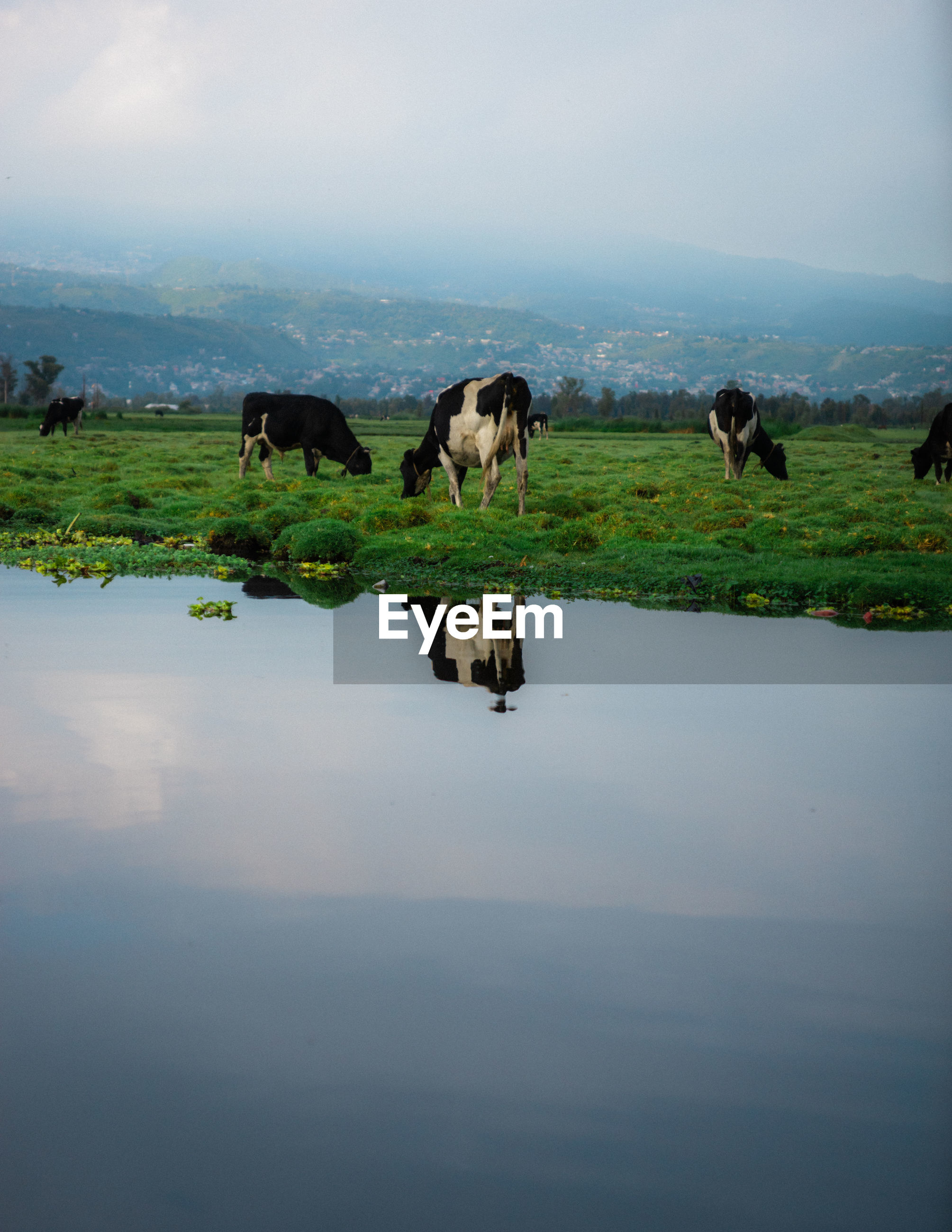 COWS GRAZING IN LAKE