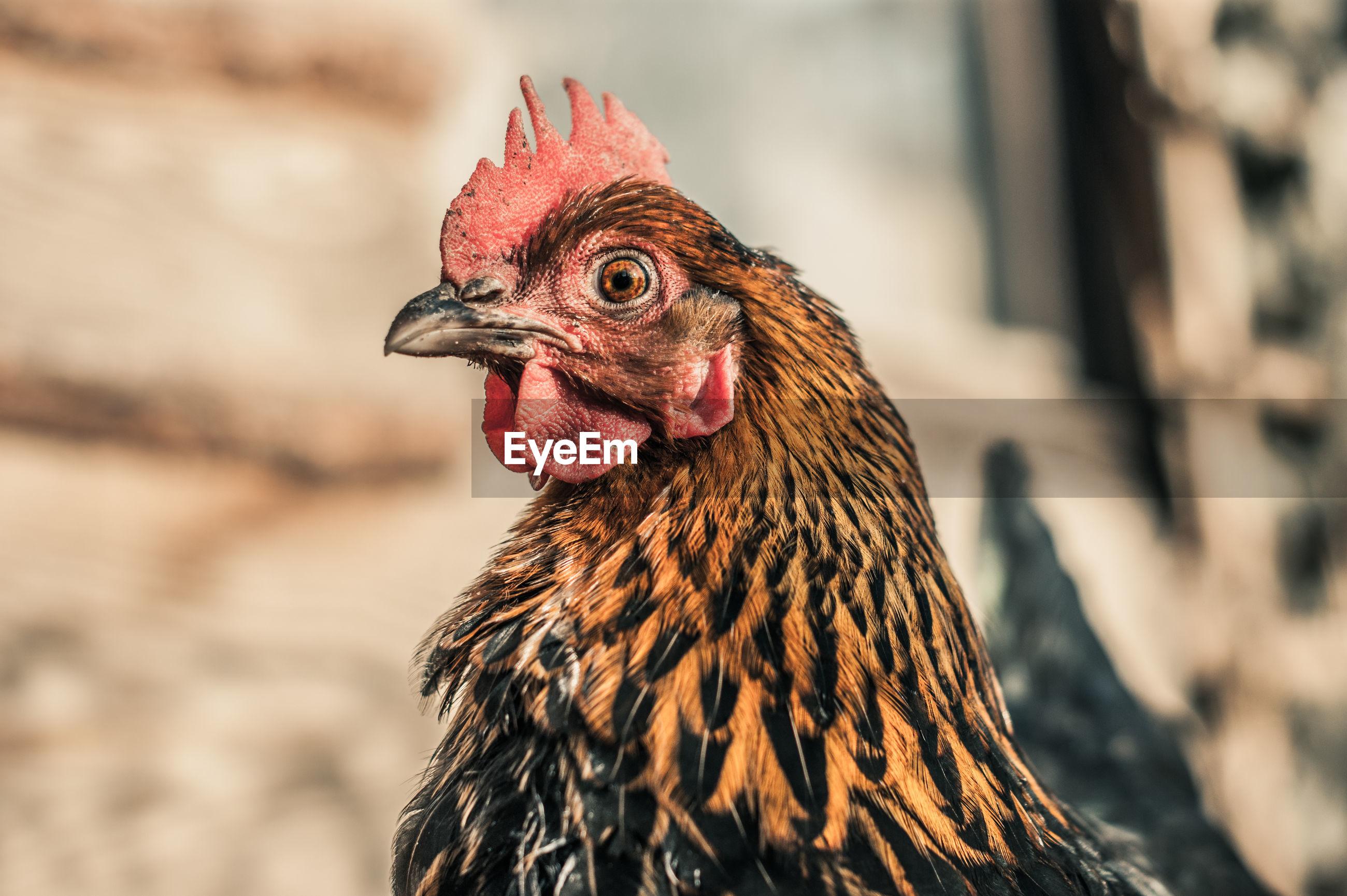 Side view portrait of hen