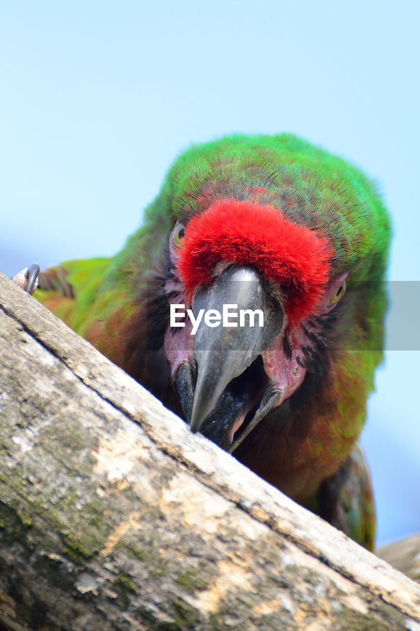 Close-up of parrot biting wood