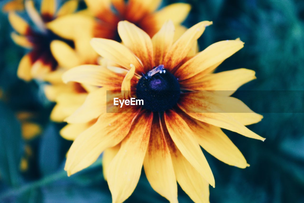 flower, petal, fragility, flower head, beauty in nature, nature, growth, plant, freshness, close-up, day, blooming, no people, outdoors, black-eyed susan