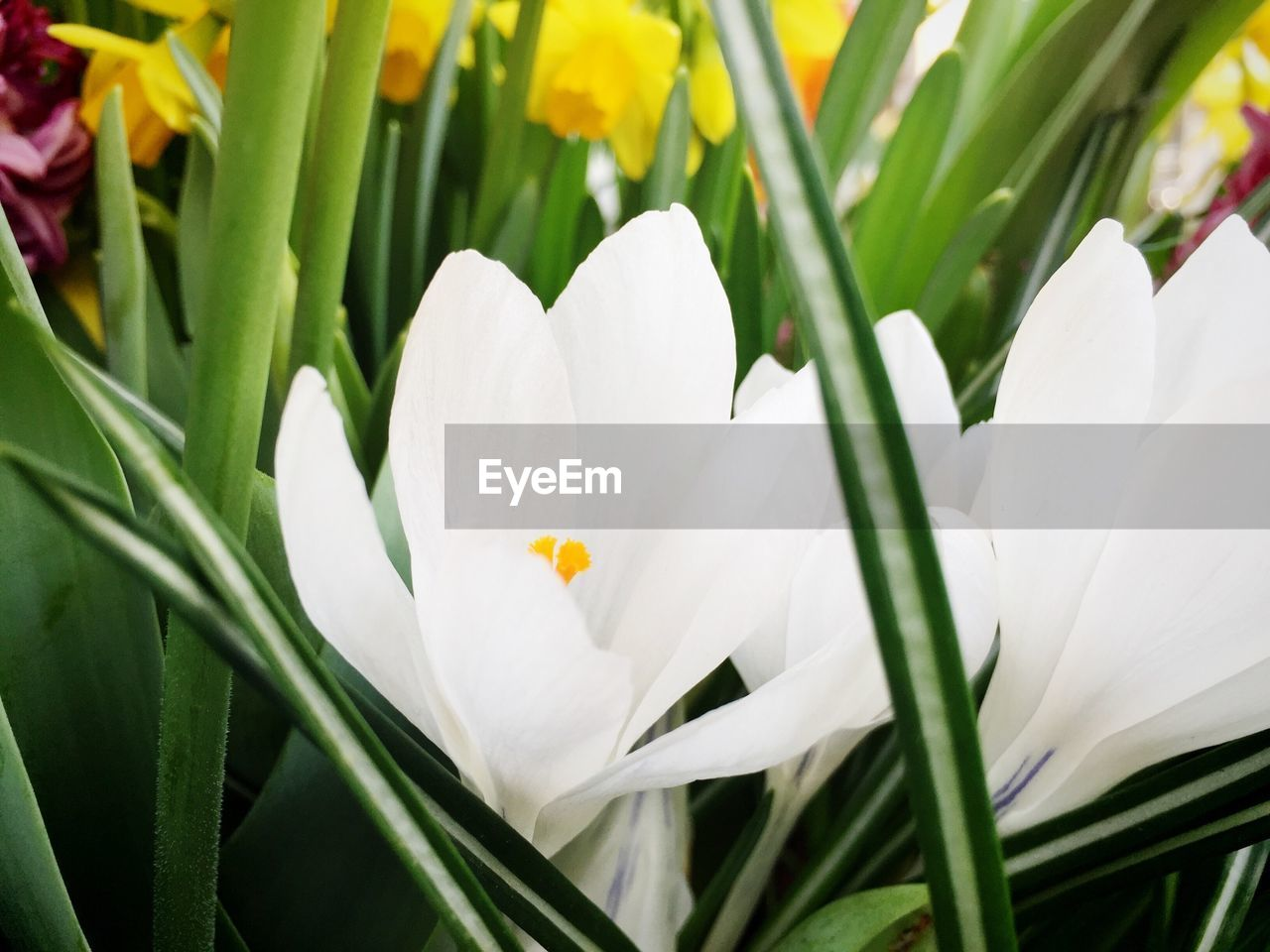 flower, petal, growth, white color, freshness, beauty in nature, flower head, nature, blooming, fragility, plant, green color, close-up, day, no people, outdoors, snowdrop, crocus