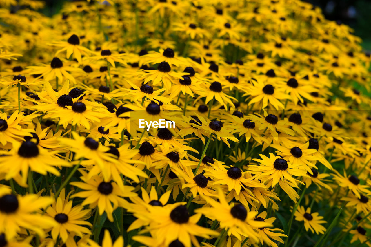 CLOSE-UP OF YELLOW SUNFLOWER FIELD