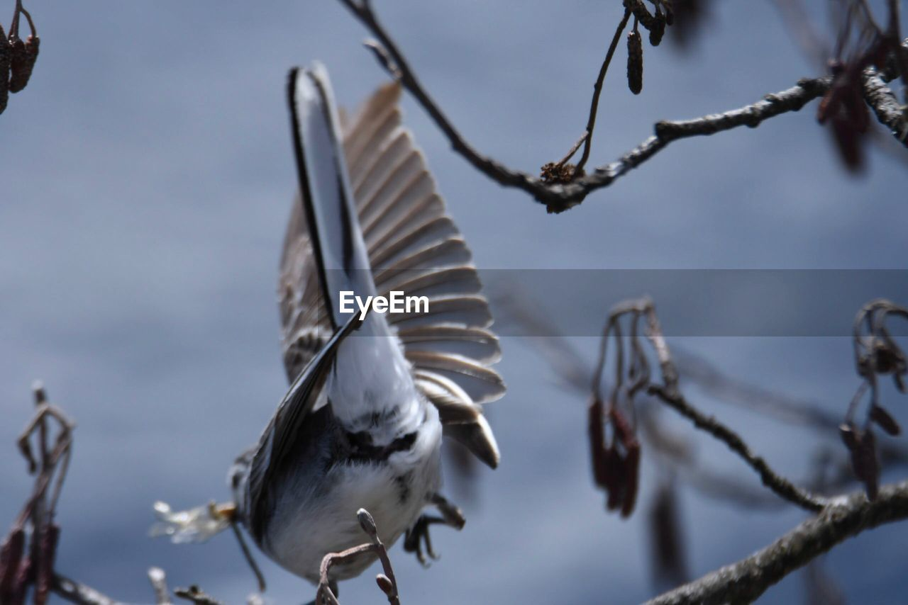 bird, animals in the wild, animal themes, spread wings, animal wildlife, nature, day, focus on foreground, outdoors, no people, low angle view, branch, flying, close-up, beauty in nature, sky