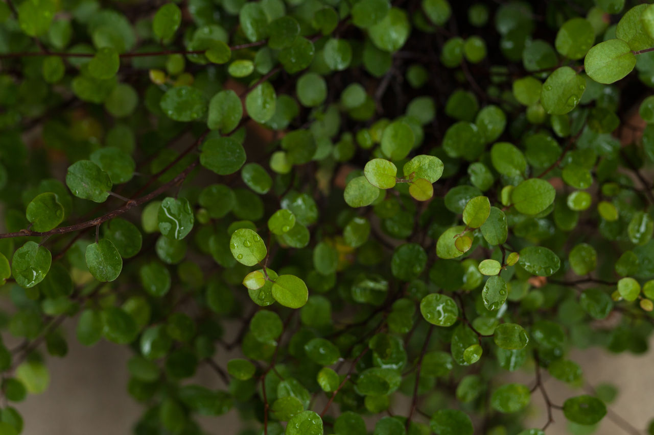 green color, growth, plant, beauty in nature, selective focus, close-up, no people, freshness, leaf, plant part, nature, day, food and drink, full frame, water, focus on foreground, tranquility, food, backgrounds, clover, leaves, raindrop