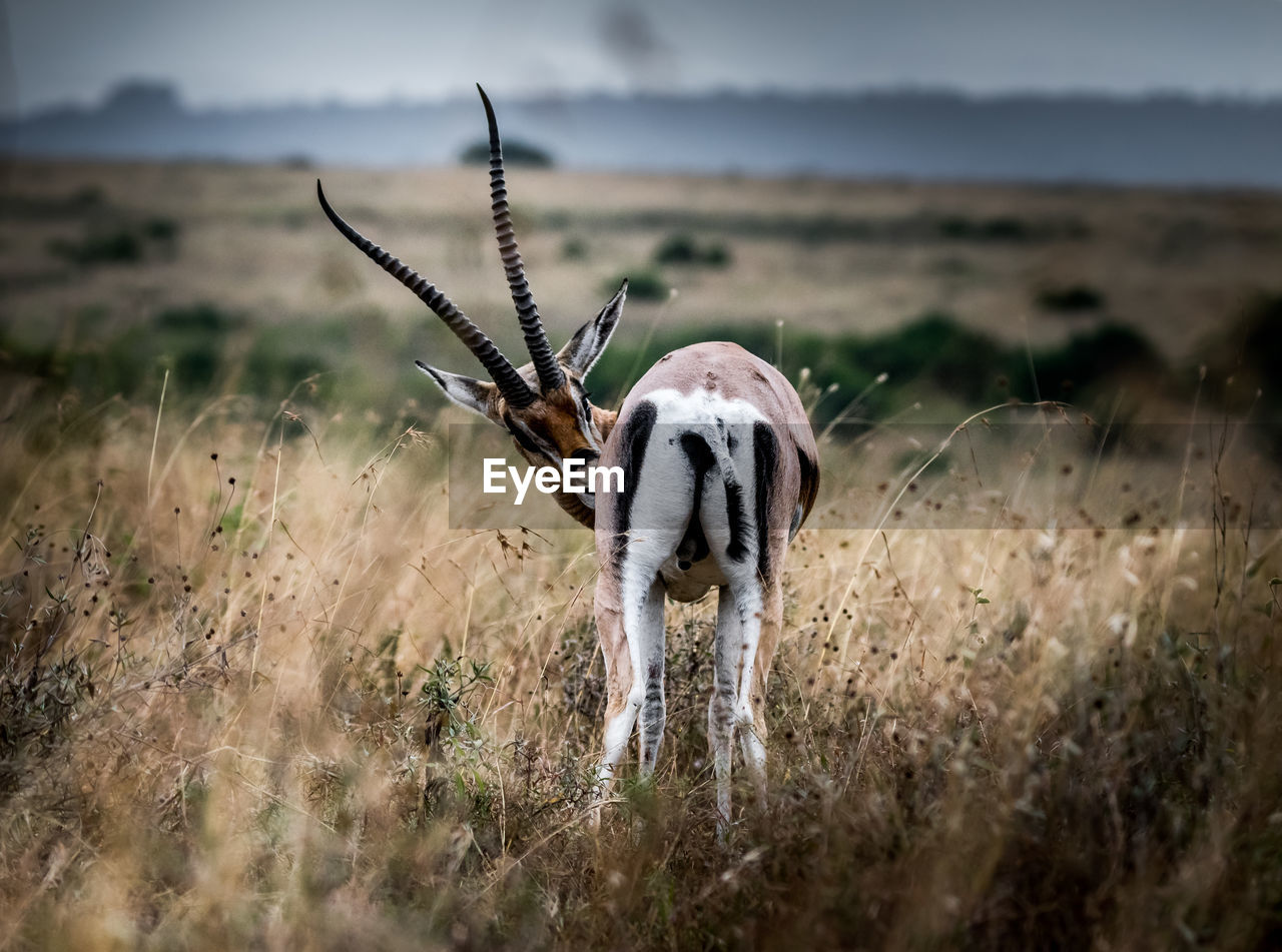 A fine art shot of a gazelle in the wild