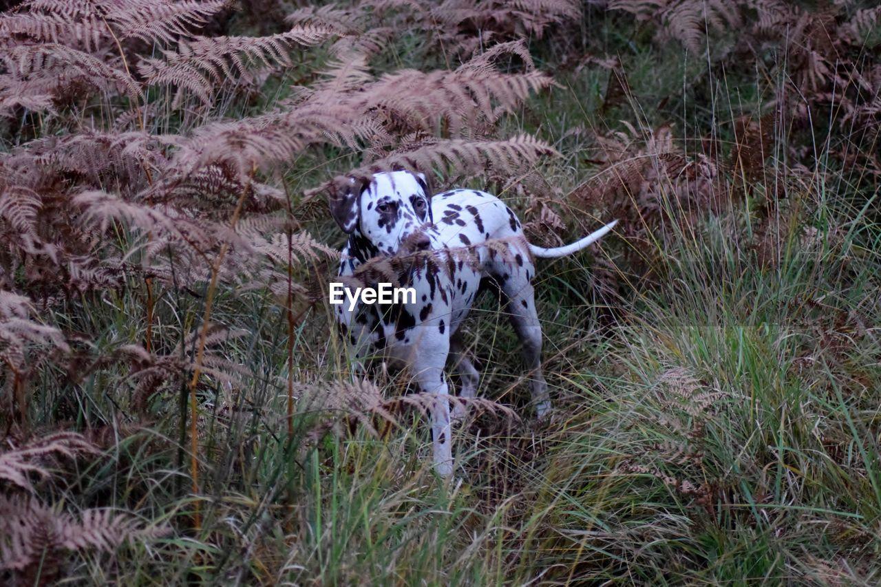 Dalmatian Dog Amidst Plants