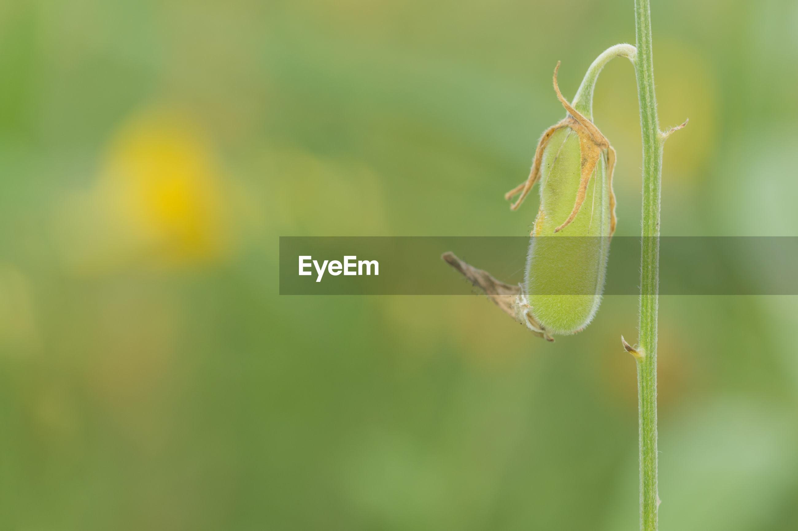 Close-up of crotalaria pod