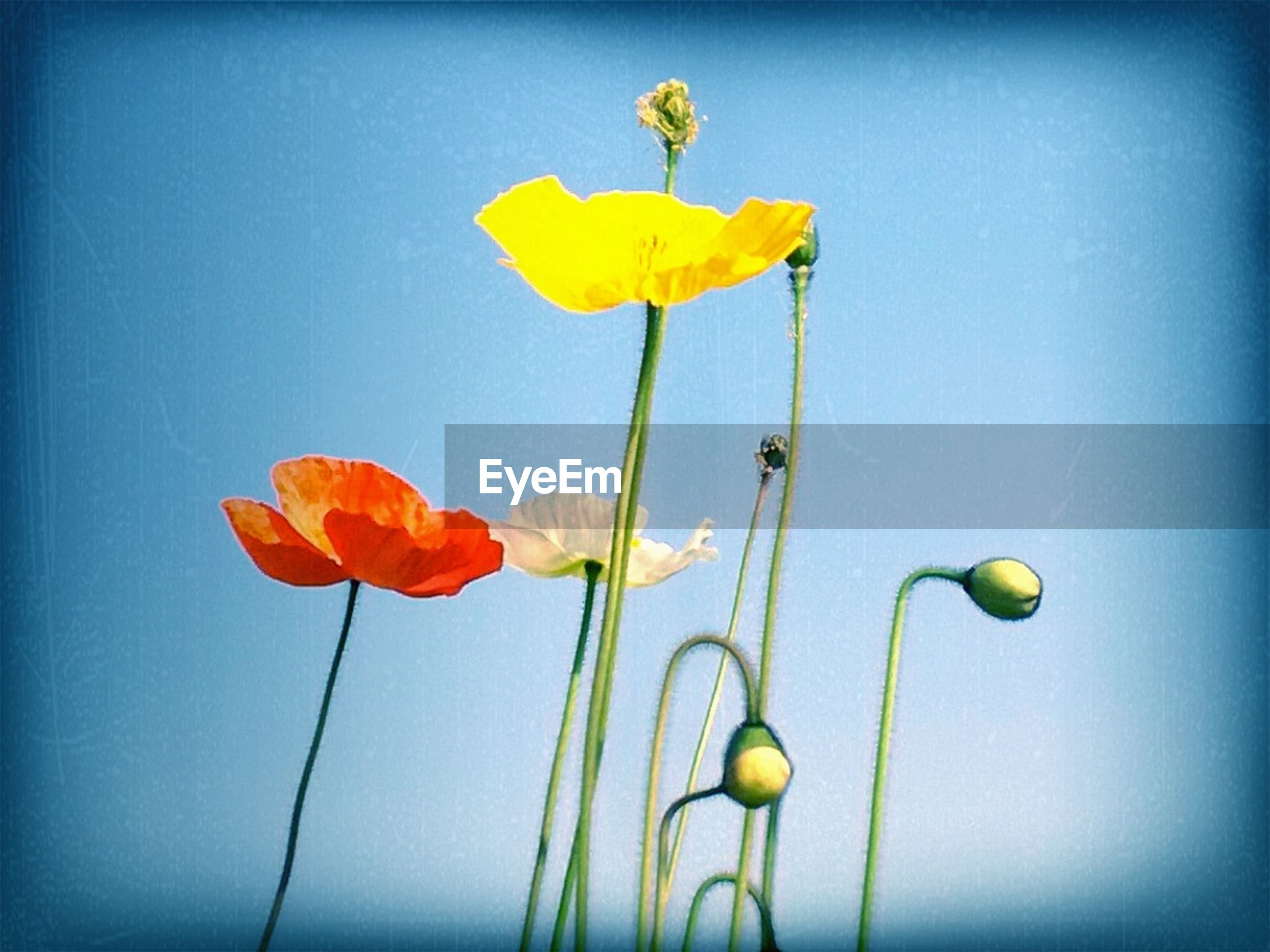 flower, freshness, fragility, stem, petal, growth, flower head, yellow, tulip, beauty in nature, nature, bud, plant, poppy, close-up, red, blue, single flower, copy space, clear sky