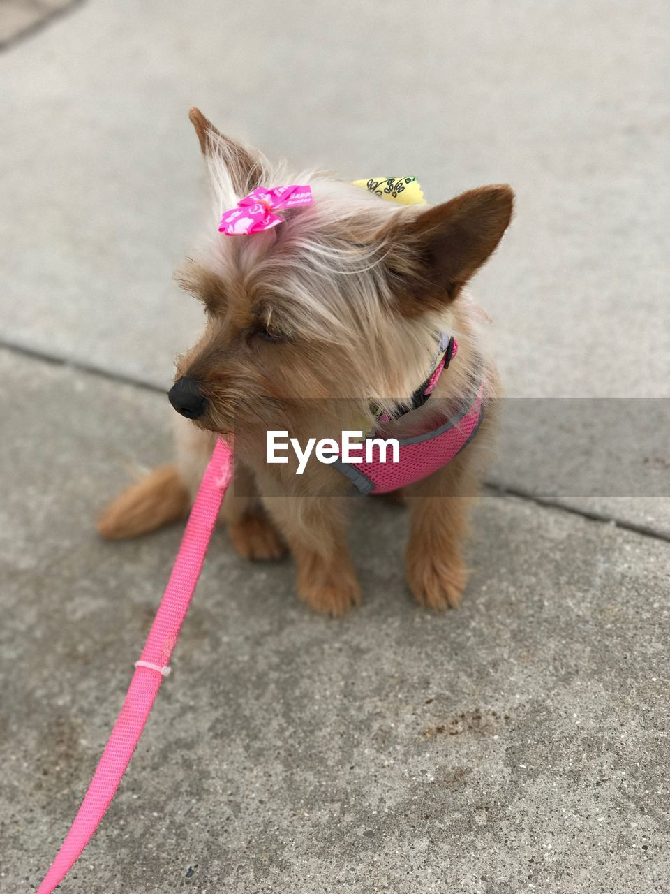 dog, pets, domestic animals, one animal, animal themes, mammal, pink color, pet leash, dog lead, street, outdoors, day, no people
