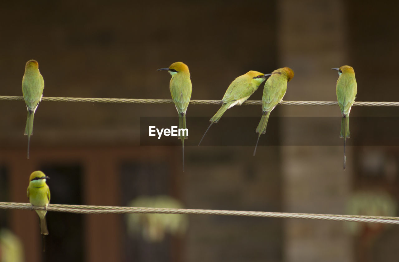 bird, vertebrate, animal themes, animal, group of animals, perching, animals in the wild, animal wildlife, focus on foreground, no people, green color, day, parrot, outdoors, nature, metal, two animals, close-up, boundary, side by side