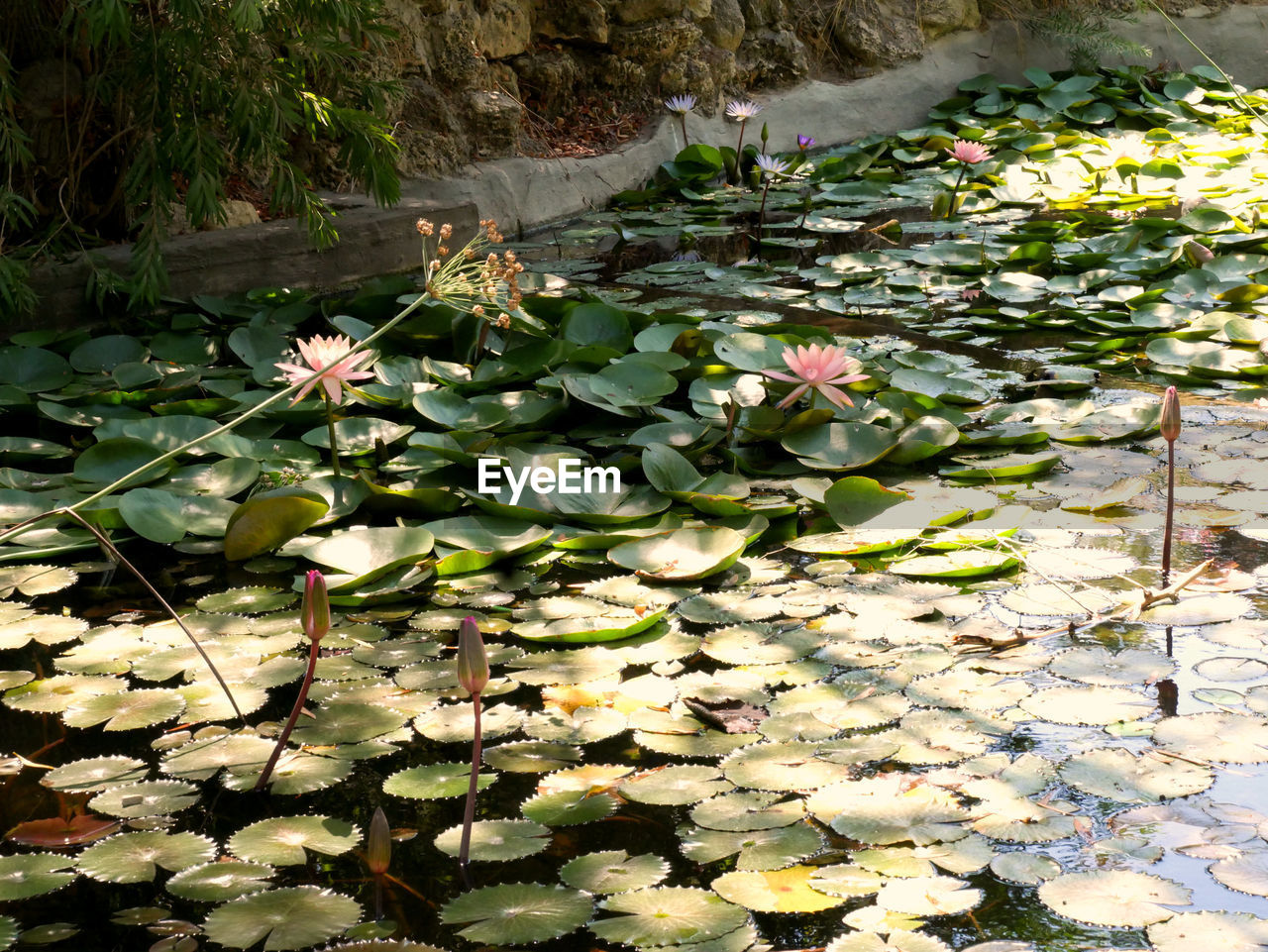 plant, leaf, plant part, water lily, flower, beauty in nature, growth, lake, nature, water, floating on water, floating, flowering plant, day, no people, freshness, lily, high angle view, lotus water lily, outdoors, flower head, leaves