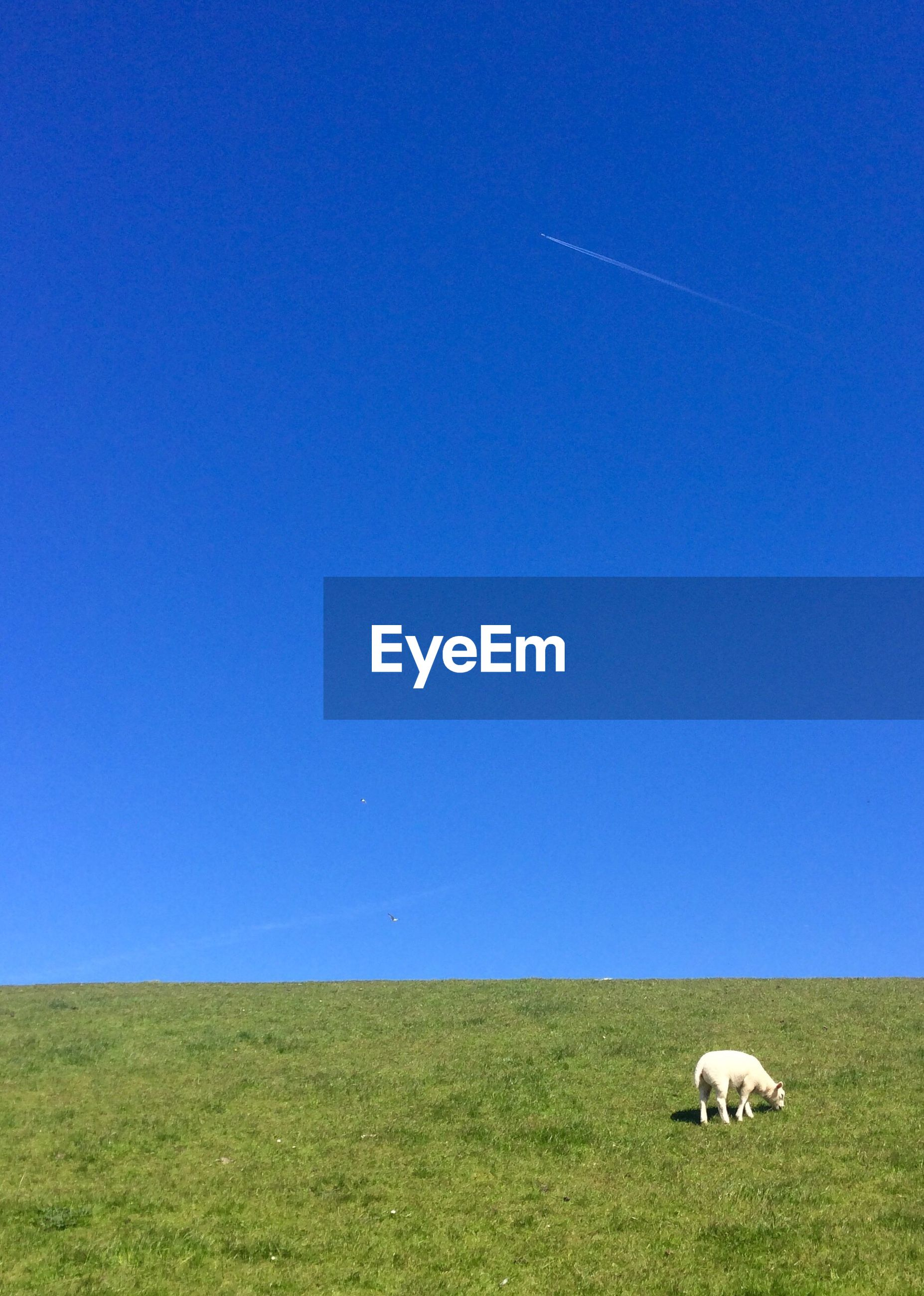animal themes, grass, clear sky, domestic animals, copy space, blue, field, mammal, landscape, one animal, grassy, livestock, tranquility, tranquil scene, green color, nature, grazing, beauty in nature, horizon over land, pasture
