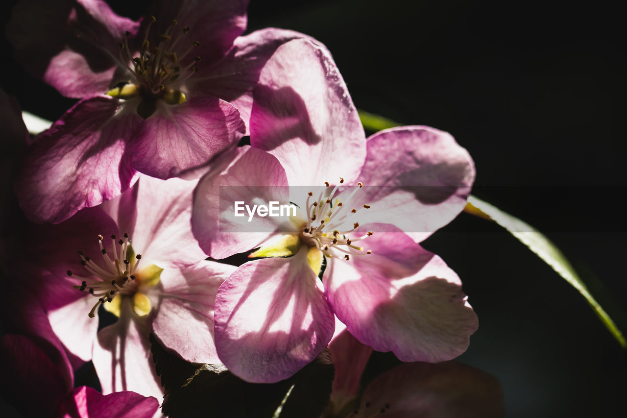 flowering plant, flower, petal, fragility, vulnerability, freshness, plant, beauty in nature, growth, flower head, close-up, inflorescence, pink color, pollen, no people, nature, botany, outdoors, springtime, day, cherry blossom