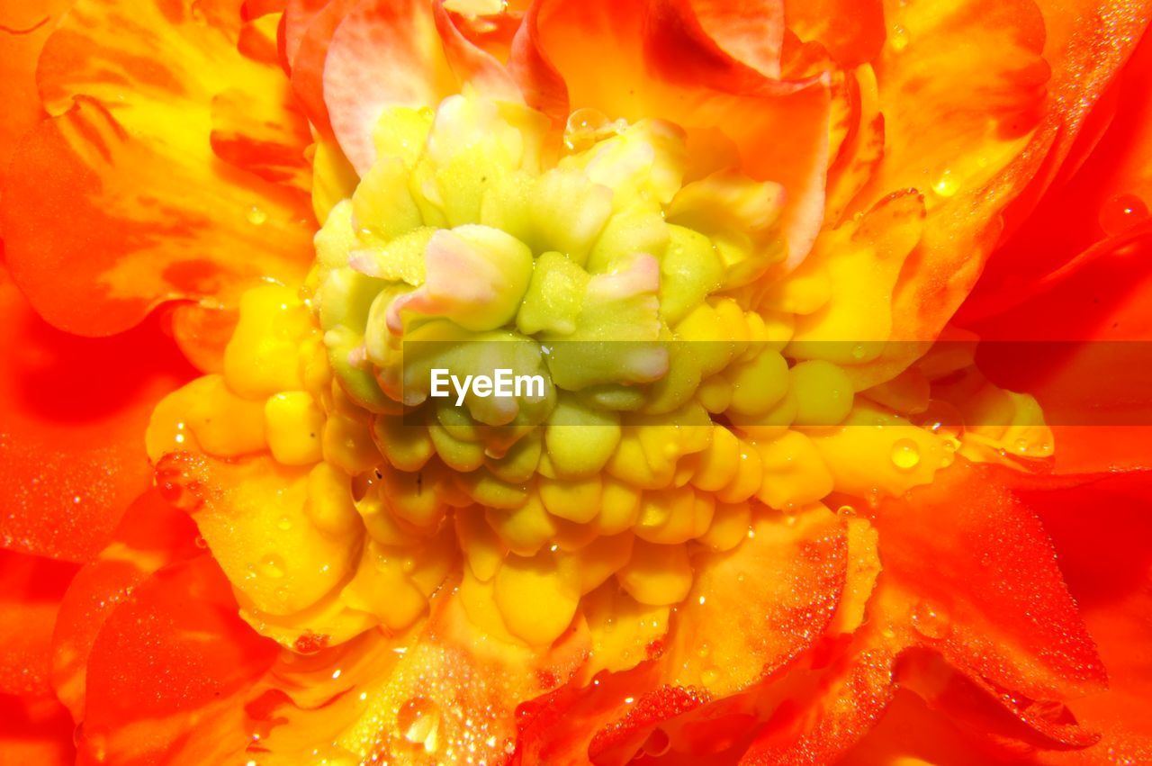 flower, freshness, beauty in nature, petal, nature, orange color, full frame, flower head, yellow, fragility, backgrounds, close-up, no people, growth, day, water, blooming, outdoors