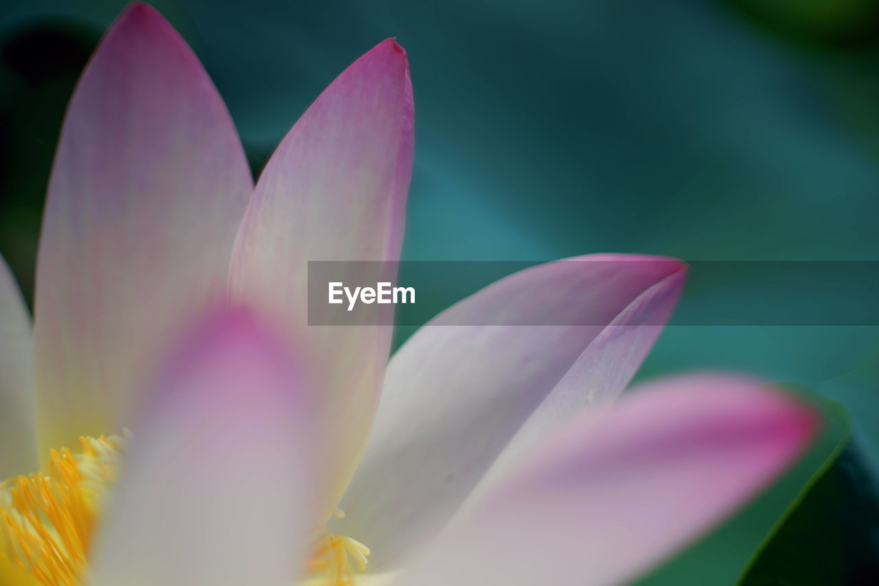 flower, flowering plant, petal, freshness, plant, beauty in nature, close-up, pink color, growth, fragility, vulnerability, inflorescence, flower head, selective focus, nature, water lily, no people, pollen, leaf, springtime, lotus water lily, purple, crocus