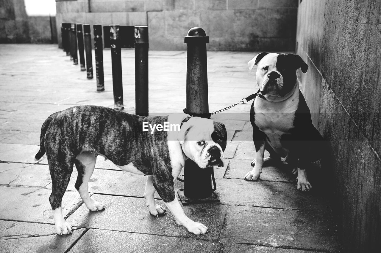 American Bulldogs Tied On Bollard