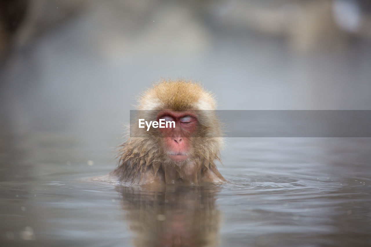 monkey, water, primate, japanese macaque, animal themes, waterfront, animal, animal wildlife, one animal, animals in the wild, mammal, vertebrate, lake, no people, hair, day, swimming, hot spring, portrait, outdoors